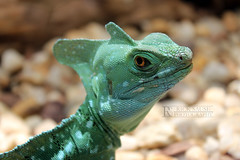 Lizard Stare