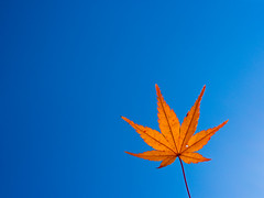 PhoTones Works #2140 (TAKUMA KIMURA) Tags: autumn plant nature leaves japan leaf maple     autumnal  omd kimura   takuma   em5 photones