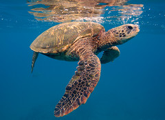 surface swim (bluewavechris) Tags: ocean life blue sea brown green nature water animal swim canon hawaii marine underwater snorkel turtle reptile wildlife dive shell maui creature flipper 1022 seasea