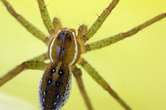 Water Spider (The Roth) Tags: macro spider macrophotography macrospider waterspider