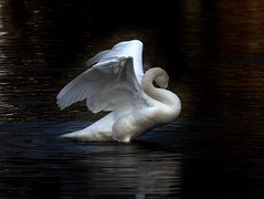 Grace & Beauty (iloverealestate) Tags: water wings preening muteswan prettyboy naturesfinest theworldwelivein supershot fantasticnature avianexcellence alittlebeauty coth5 bestevercompetitiongroup