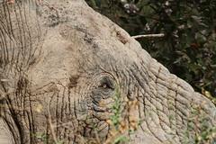 Elephant eye (Jonas Van de Voorde) Tags: elephant nature animals wildlife safari westafrica benin loxodontaafricana pendjari jonasvandevoorde