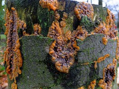 Phlebia Merismoides (radiata) 1. of 3. (davemac43) Tags: park tree crust fungi fungus stump radiata rhyddings oswaldtwistle phlebia merismoides