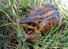 Common Frog, Shetland (Crieffy.) Tags: frog common shetland 4s iphone