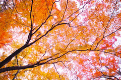 autumn colors *maple (ebicky) Tags: autumn red orange green leaves yellow japan maple sigma  yamagata sd1 816mm akayu