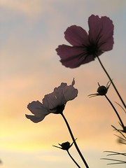 Explore 2012.11.25 Cosmos flowers in Sunsetlight (eriko_jpn) Tags: explore pinkflower sunsetlight cosmos cosmossulphureus