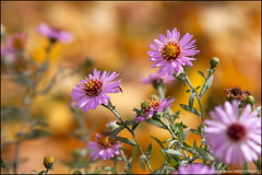 Wild Flower,-12-04886 (cossphoto) Tags: flowers wild diverse flori coss floare theperfectpinkdiamond rememberthatmomentlevel1 rememberthatmomentlevel2 rememberthatmomentlevel3 flowerthequietbeauty codeofexcellencesplendidl1 cossphoto cossphotoart