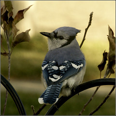 Blue Jay (joeldinda) Tags: birds raw jay bluejay joeldinda 1v1