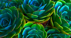 Dudleya 2 (ZAbbey72) Tags: plants green colors closeup succulents dudleya