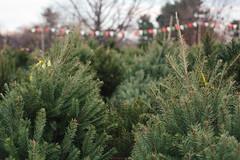 Christmas Time is Here (soupatraveler) Tags: christmas xmas winter usa tree philadelphia pine shopping holidays christmastree pa rows fir xmastree roxborough cuttrees hollyclarkphotography wwwhollyclarkphotographycom