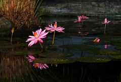 Night Blooming Water Lilies (2mag7- non-stop catching up!) Tags: flowers southamerica water rain night pond lilly suriname paramaribo royaltorarica blinkagain