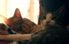 Mornings (llorias) Tags: light orange pet cats pets sunlight cute nature animals cat kitten natural kittens paws
