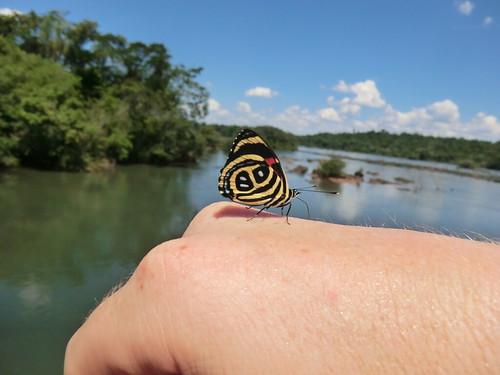 Paulogramma Butterfly
