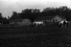IMG_0010 (thinktank8326) Tags: ohio blackandwhite horse film grey paint flickr mare minolta gray ilfordhp5 pearl domino ilford trot oberlin pinto warmblood trakehner minolta303b geotaggedohio kremeroyale thinktank8326