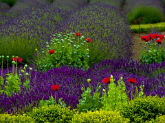 Lavender Colors (1bluecanoe) Tags: flowers summer colors landscape washington lavender sequim 2012 1bluecanoe