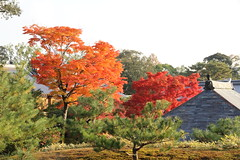 Autumn Colors at Kinkakuji, Kyoto IMG_6521 (TW Jaw) Tags: november japan canon maple kyoto autumnleaves autumncolors 7d kinkakuji