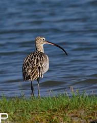 Eurasian Curlew - Numenius arquata (prasanth2406) Tags: portrait india color nature birds photography nikon colorfull wildlife indian national catch nikkor dslr chennai eurasian nationalgeographic curlew innovative prasanth eurasiancurlew numenius arquata numeniusarquata nikondslr indianbirds nikon70300 chennaibirds d3100 prastography prasanthphotos