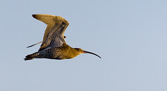 curlew (Alchimi) Tags: bird wales wildlife flight kidwelly wetland curlew wader canon100400mm alchimiae