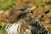 Close Encounter Of The Hawk Kind (no crop) (Profcjgregory) Tags: red hawk tail mygearandme me2youphotographylevel2 me2youphotographylevel3 me2youphotographylevel1 freedomtosoarlevel1birdphotosonly