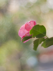 Camellia japonica ' Benimyorenji ' (Polotaro) Tags: flower nature pen olympus camellia   zuiko ep1     gzuiko50mmf14