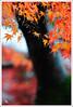 20121126_6572a_京都之秋 (Redhat/小紅帽) Tags: autumn fall japan temple maple kyoto redhat 京都 夕陽 日本 紅葉 秋 夕日 楓葉 あき 秋天 楓紅 もみじ 真如堂 小紅帽 sinnyodo 秋雨 しんにょどう