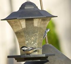 birds birdfeeder chickadee blackcappedchickadee perchingbirds