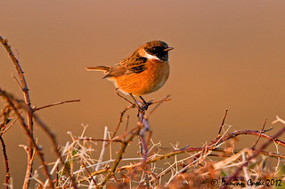 _MG_3605-Male-Stonechat