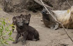 HyenaCub2-0540 (otterly1) Tags: dulini southafrica hyena safari