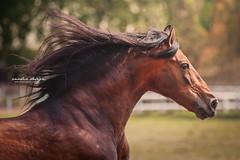 Chase the Sunset (giulia_basaglia) Tags: stallion horse summer freedom