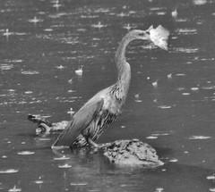 Canon213054 (godrudy6661) Tags: neworleans hdr audubonpark anhinga femaleanhinga fish food darktable rain