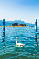 The wild swan (Nicola Pezzoli) Tags: blue people italy mountain lake bird art tourism nature water colors animal yellow canon reflections island design swan piers floating monte bergamo brescia lombardia isola iseo sulzano