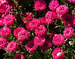 Raspberry Pink (Jocey K) Tags: christchurch newzealand flower spring cornflowers