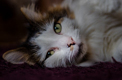 Cat Portrait (Tilly our old neighbours the 3-legged cat) Olympus OM-D EM5II & Panasonic-Leica DG Summilux 25mm f1.4 Prime Lens) (1 of 1) (markdbaynham) Tags: cat face eyes portrait tilly 3legged feline cute pet animal olympus omd em5 em5ii csc mirrorless evil mft m43 micro43 micro43rd m43rd panasonicleica summilux dg f14 25mm prime lumix lumixer