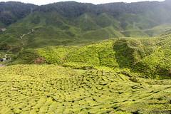 Green stillness (maria serova) Tags: teaplantation cameronhighlands tea travel southeastasia malaysia nature