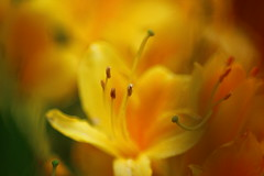 Azalea (Nathalie_Dsire) Tags: rhododendron flower blossom orange yellow macro closeup nature bokeh garden outdoor daylight tamron tamron70300 blur blurred plant color colour detail canon canoneos600d fire rhododendronluteum azalea joy happy gold