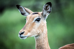 Brown Eyes (Wookkie) Tags: ifttt 500px africa afrika animal gazelle nature serengeti tansania tanzania animals safari wild wildlife