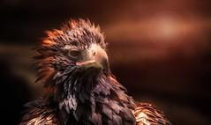 Eagle (Delbrücker) Tags: eagle adler bird vogel animal tier nature natur portrait outdoor nikond610 nikkor 70200mm 28