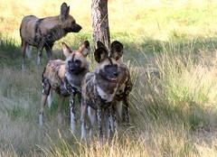 Wild Dog Pack (Ger Bosma) Tags: 2mg186785 afrikaansewildehond hyenahond africanwilddog lycaonpictus afrikanischerwildhund wildhunde lycaon louppeint chiensauvageafricain chiensauvagedafrique chienhyne chienchasseur lican perrosalvajeafricano lobopintado perrohiena perrocazadordeelcabo   afrikanskavildhund hyenhund afrikanskvillhund hyenehund african wild dog dogs group pack
