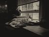 Fields of Misery (cuppyuppycake) Tags: cat office black white pet lazy sleeping tired window light desk indoors