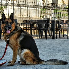 Pastori in centro. (giuseppemontalto) Tags: pastoretedesco mydog ilmiocane quattrozampe dog nature cane nikonphotography nikon photography fotografia picture