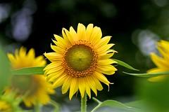 Leader (tez-guitar) Tags: sunflower flower summer blossoms bloom pentax pentaxart tamron macro zama field