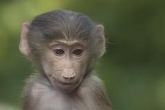 Mantelbaviaan - Emmen (Jan de Neijs Photography) Tags: mantelbaviaan baviaan baboon hamadryasbaboon dierenparkemmen emmen zoo dierentuin aap tamron tamron150600