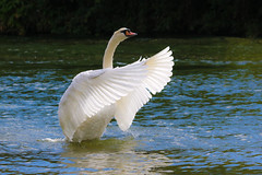 mute swan (spencerrushton) Tags: spencerrushton spencer rushton 70300mm swan windsorswan muteswan mute river riverthames uk windsor berkshire bird canon canonlens canon760d 760d zoomlens zoom animal nature outdoors wild