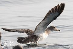Le dcollage.... (Bouhsina Photography) Tags: mouette goland maroc morocco bird sea water eau mer bouhsina ttouan wow