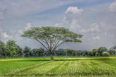 alone tree (Sujoy Virus) Tags: alone tree bangladesh bangladeshi beautiful beauty landscape camera canon