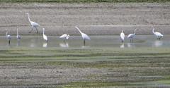 I have many egrets...here's but a few (Zanshin Art) Tags: wastewater treatment plant ukiah
