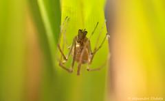 Tetragnathidae ? (Alexandre D_) Tags: canon 70d eos spider araigne macro macrophotography macrounlimited cheapmacro closerandcloser closeup macrophotographie macroworld insect nature tetragnathaextensa tetragnatha pond garden tamron tamronaf70300mmf456divcusdif 70300vc 70300mm raynox dcr250 raynoxdcr250 neewer nw660iii bokeh colors