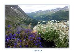 Valle d'Aosta (9) (Jambo Jambo) Tags: saussurea giardinobotanicosaussurea courmayeur montebianco pavillondumontfrty valdaosta aosta stellealpine alpi alpioccidentali alps fiori flowers genziane montagne mountains panorama landscape sonydscrx100 jambojambo