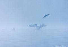 """Ambiance brumeuse"" Plongeon huard/ common loon (pascaleforest) Tags: brume mist bird oiseau passion nikon qubec wildlife nature"
