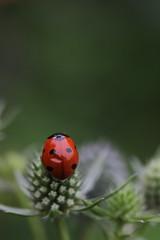 Ladybug (zs_and_zs) Tags: ladybug ladybird sevenspotted marienkfer katica katicabogr outdoor macro closeup bug garden coccinella coccinellaseptempunctata bent unbroken